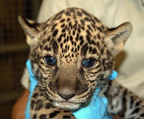 Jaguar cubs mesker zoo closeup 3 rs