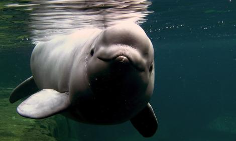 Beluga calf vancouver aquarium rs