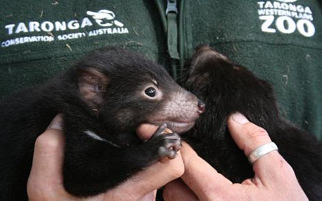 Baby Tasmanian Devil joeys taronga zoo 1 rs