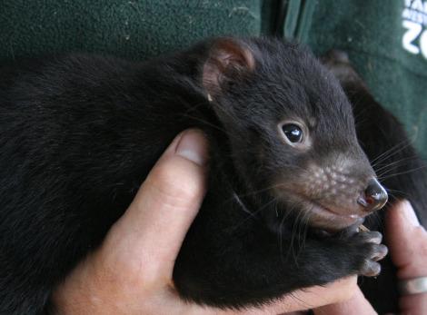 Baby Tasmanian Devil joeys taronga zoo 2 rs