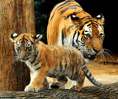 Baby Tiger Cubs Milwaukee County Zoo 6