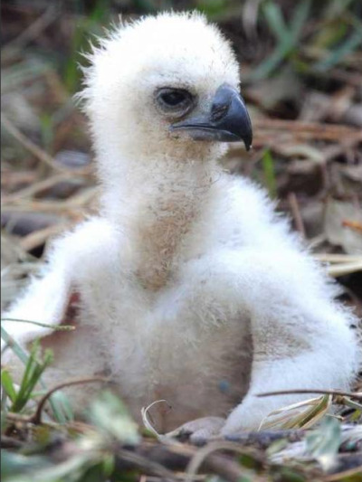 Harpy eagle chick miami metrozoo 2