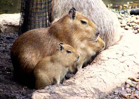 Baby capybara buffalo zoo 3