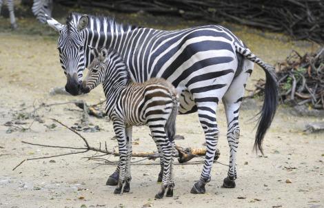 Zebra Foal Zoo Basel 2 rs