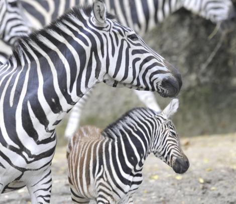 Zebra Foal Zoo Basel rs