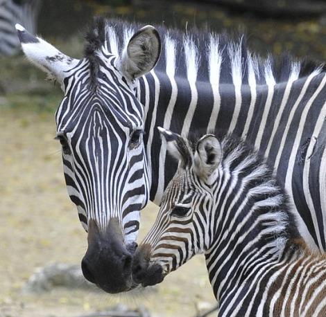 Zebra Foal Zoo Basel 2 rs2