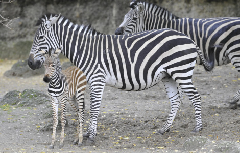 Zebra Foal Zoo Basel 3 rs2