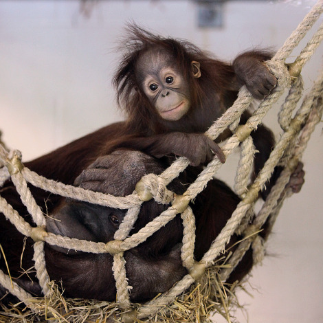 Baby orangutan kali kansas city zoo 3 rs