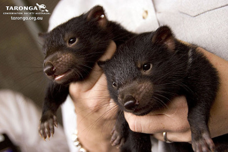 Baby tasmanian devil joey taronga zoo 2