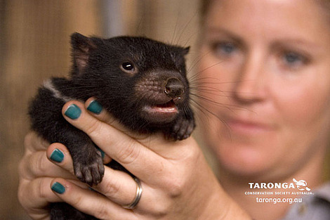 Baby tasmanian devil joey taronga zoo 4