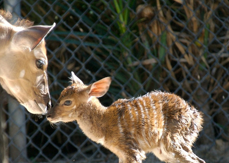 Baby nyala nose to nose rs