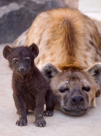 Baby hyena cub denver zoo 1a rs