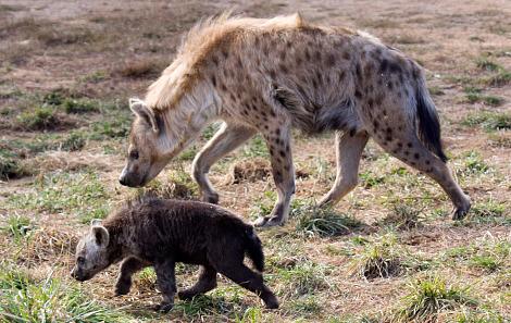 Baby hyena cub denver zoo 3a