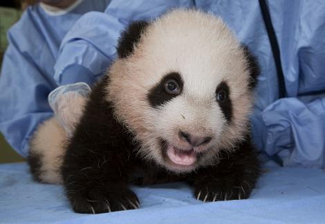 Baby panda cub san diego zoo 6 rs