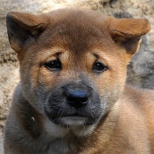 New Guinea Singing Dog Puppies