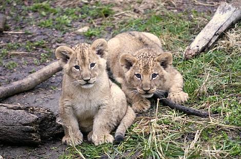 Lion cubs columbus zoo 1