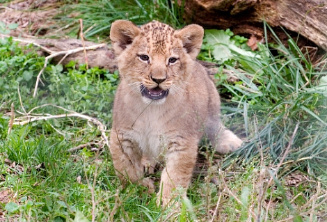 Lion cubs columbus zoo 3