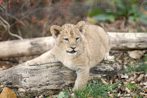 Lion cubs columbus zoo 5