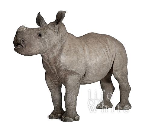 Baby rhino ebun munster zoo life on white 1