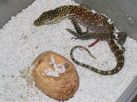 Baby komodo dragon singapore zoo 1 rs