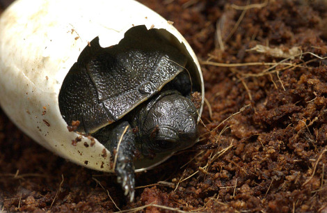 Western pond turtle hatchling oregon zoo 3 rs