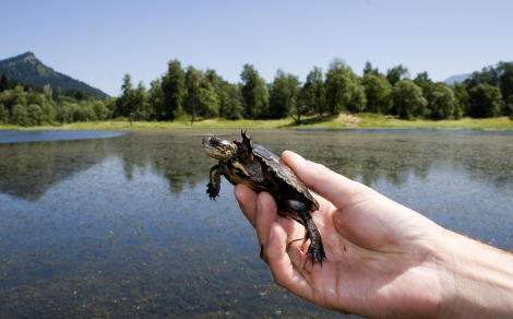 Western pond turtle hatchling oregon zoo 6 rs