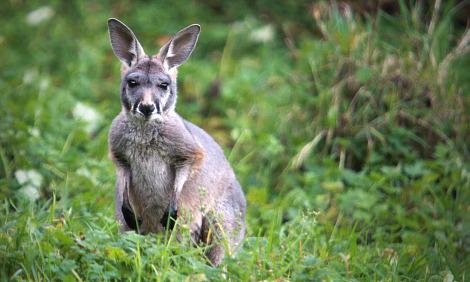 Baby kangaroo joey belfast zoo 3 rs