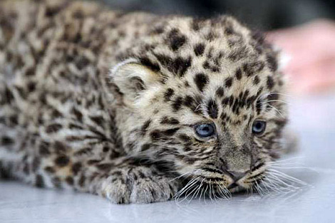 Amur leopar cub germany 1