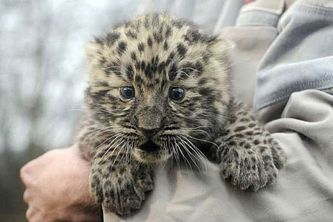 Amur leopar cub germany 2