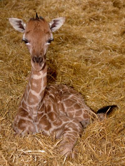 Baby giraffe calf calgary zoo 3 rs