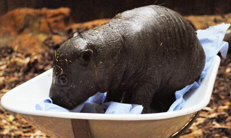 Pygmy-hippo-born-at-Colch-001