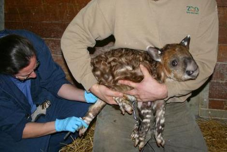 Baby Tapir Calf Zoo New England 3