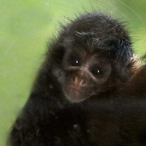 Baby_Spider_Monkey