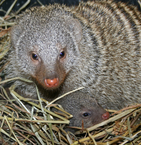 Our female mongoose gave birth to a litter of six pups on Thanksgiving Day 5