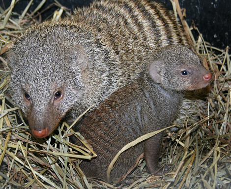 Mongoose pups are tiny, weighing only a few ounces. Adults weigh three to five pounds 3