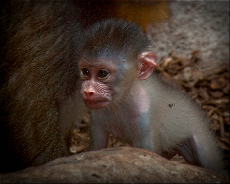 Mandrill Baby Gladys Porter Zoo 1