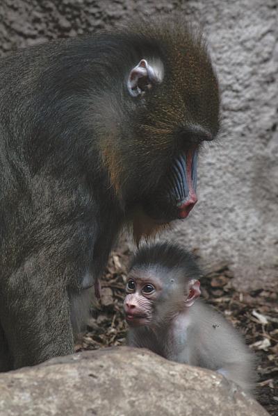 Mandrill Baby Gladys Porter Zoo 2