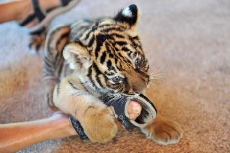 Bengal tiger cub puerto vallarta 1