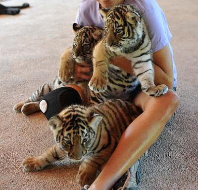 Bengal tiger cub puerto vallarta 3