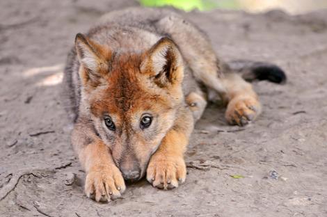 Wolf pup zurich zoo tambako 2