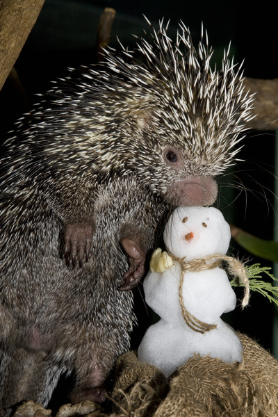 Porcupine and snowman national zoo mehgan murphy