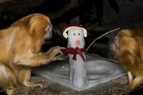Golden tamarins and snowman national zoo mehgan murphy