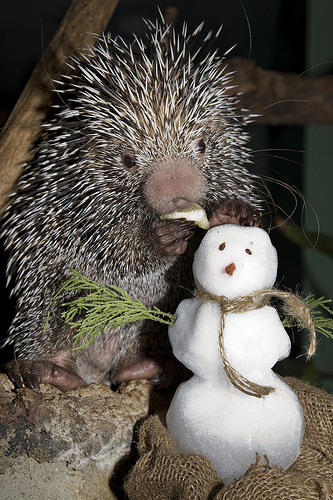 Porcupine and snowman national zoo mehgan murphy 2