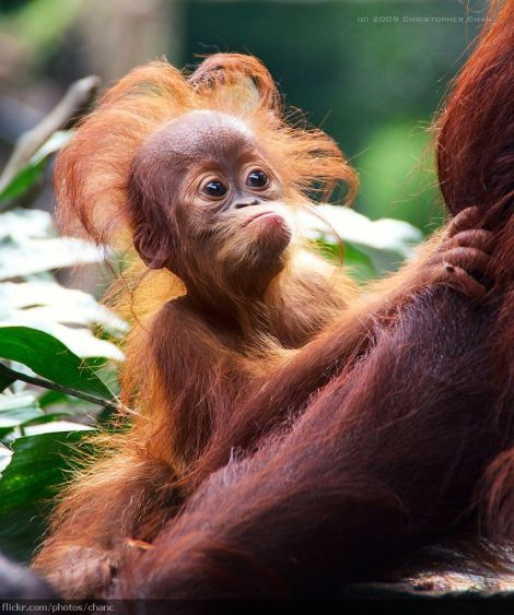 Orangutan singapore zoo christopher chan
