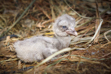 Zb_lrshoebill-chick-Robert-La-Follette