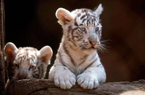 White tiger cubs national zoo chile 3