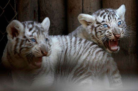 White tiger cubs national zoo chile 1