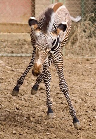 Grevys zebra foal denver zoo 2