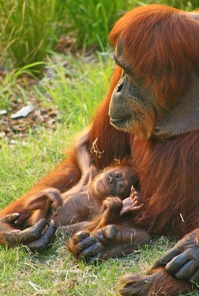 Baby orangutan perth zoo 2 rs