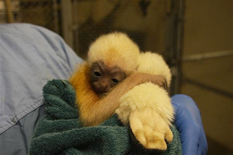 Baby gibbon minnesota zoo 1